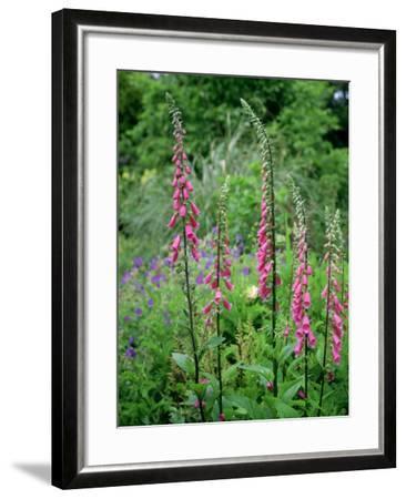 Striking Spires of Purple/Pink Flowers of Digitalis Purphrea, the Common Foxglove-Ron Evans-Framed Photographic Print