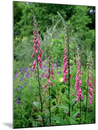 Striking Spires of Purple/Pink Flowers of Digitalis Purphrea, the Common Foxglove-Ron Evans-Mounted Photographic Print