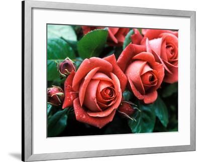 "Rosa ""Meicobuis"" (Rosa ""Terracotta"")-Michele Lamontagne-Framed Photographic Print"