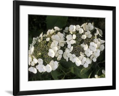 "Hydrangea Macrophylla ""Libelle""-Michele Lamontagne-Framed Photographic Print"