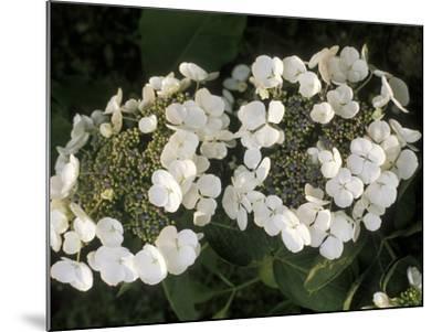 "Hydrangea Macrophylla ""Libelle""-Michele Lamontagne-Mounted Photographic Print"
