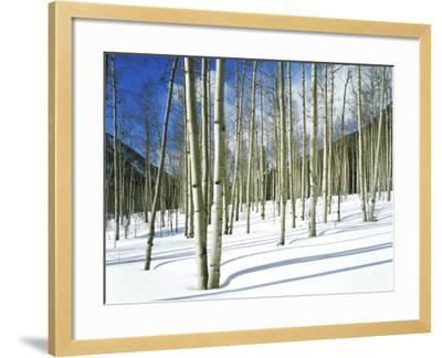 Morning Light on Aspen Grove in Winter, Colorado, USA-Willard Clay-Framed Photographic Print