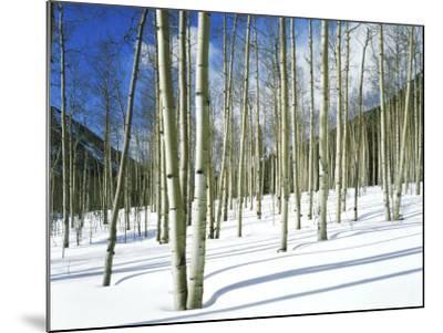 Morning Light on Aspen Grove in Winter, Colorado, USA-Willard Clay-Mounted Photographic Print
