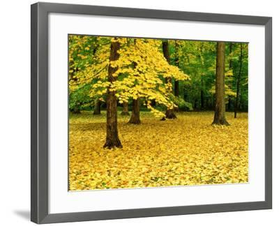 Maple Leaves and Trees in Fall Colour at Funks Grove, Il-Willard Clay-Framed Photographic Print