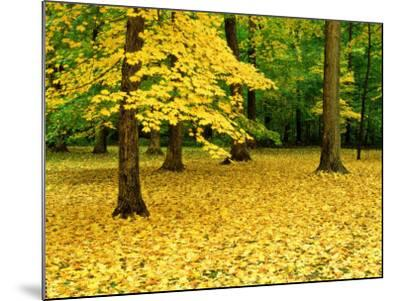 Maple Leaves and Trees in Fall Colour at Funks Grove, Il-Willard Clay-Mounted Photographic Print