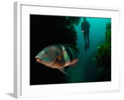 Sandagers Wrasse and Diver, New Zealand-Tobias Bernhard-Framed Photographic Print