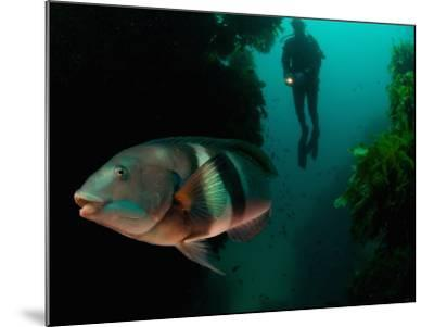 Sandagers Wrasse and Diver, New Zealand-Tobias Bernhard-Mounted Photographic Print