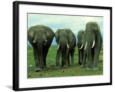 Elephants, Group of Bulls, Kenya-Martyn Colbeck-Framed Photographic Print