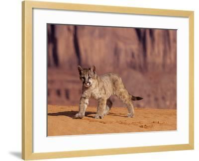 Mountain Lion, Portrait of Young Cub, USA-Daniel J. Cox-Framed Photographic Print