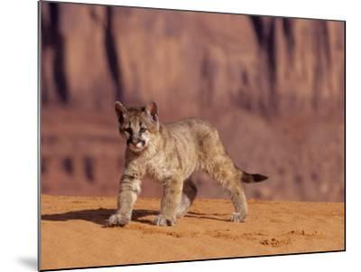 Mountain Lion, Portrait of Young Cub, USA-Daniel J. Cox-Mounted Photographic Print