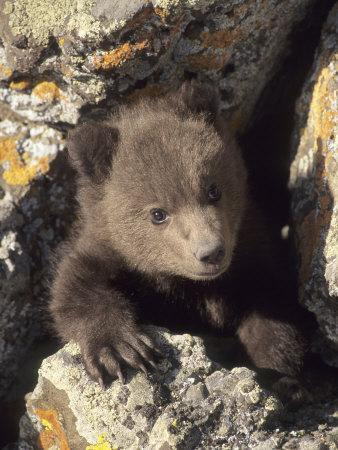 Grizzly Bear Cub Between Rocks, Montana, USA-Daniel J. Cox-Framed Photographic Print