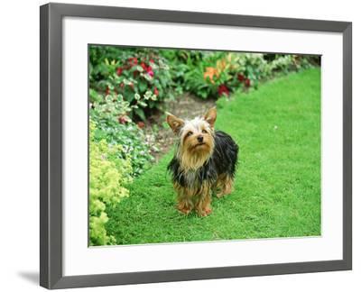 Yorkshire Terrier in Garden Setting-Zara Mccalmont (napier)-Framed Photographic Print