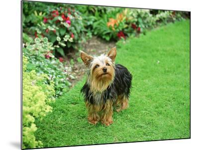 Yorkshire Terrier in Garden Setting-Zara Mccalmont (napier)-Mounted Photographic Print