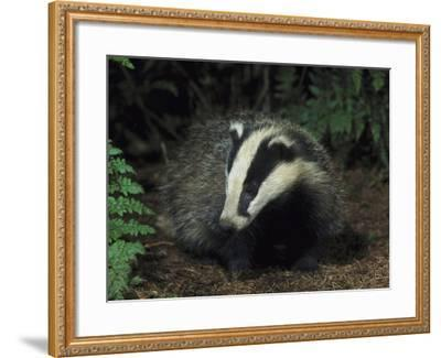 Badger, Close-up of Cub in Pine Woodland, UK-Mark Hamblin-Framed Photographic Print