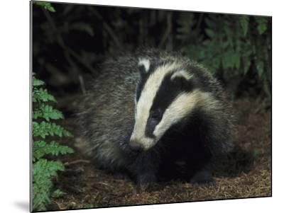 Badger, Close-up of Cub in Pine Woodland, UK-Mark Hamblin-Mounted Photographic Print