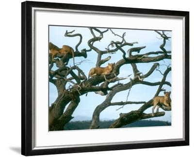 Lionesses in Dead Acacia Tree, Tanzania-Mary Plage-Framed Photographic Print