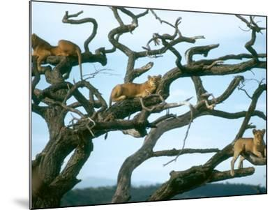 Lionesses in Dead Acacia Tree, Tanzania-Mary Plage-Mounted Photographic Print