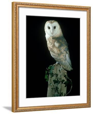 Barn Owl-Mark Hamblin-Framed Photographic Print