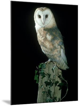 Barn Owl-Mark Hamblin-Mounted Photographic Print
