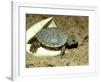 Red-Eared Slider Turtle, Hatching, USA-G^ W^ Willis-Framed Photographic Print