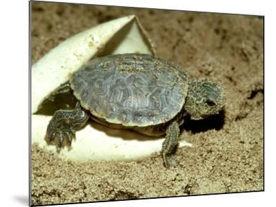 Red-Eared Slider Turtle, Hatching, USA-G^ W^ Willis-Mounted Photographic Print