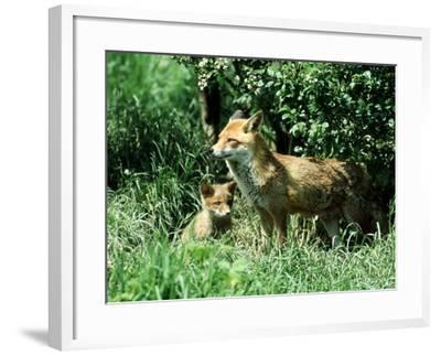 Fox, Vixen with Cub, Surrey-David Tipling-Framed Photographic Print