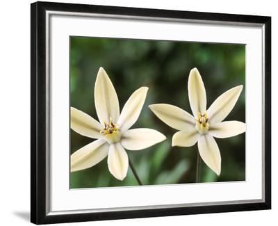 "Triteleia Ixioides ""Starlight"" (Pretty Face)-Chris Burrows-Framed Photographic Print"