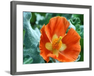 Glaucium Corniculatum, Close-up of Orange Flower Head-Chris Burrows-Framed Photographic Print
