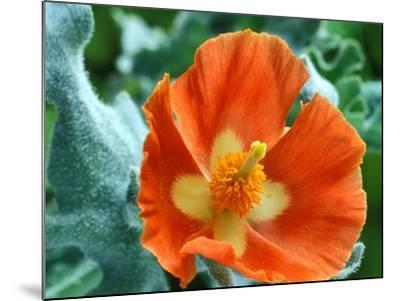 Glaucium Corniculatum, Close-up of Orange Flower Head-Chris Burrows-Mounted Photographic Print