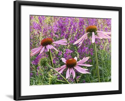 Echinacea Purpurea Magnus and Lythrum Virgatum (Purple Conflower and European Wand Loosestrife)-Michael Davis-Framed Photographic Print