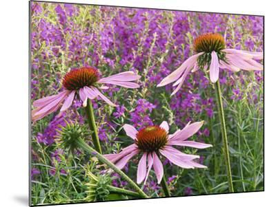 Echinacea Purpurea Magnus and Lythrum Virgatum (Purple Conflower and European Wand Loosestrife)-Michael Davis-Mounted Photographic Print