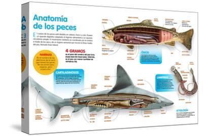 Infografía Donde Se Presenta La Anatomía Los Peces Óseos, Los Peces Cartilaginosos Y Las Lampreas--Stretched Canvas Print