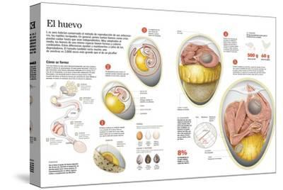 Infografía Sobre El Proceso De Formación Del Huevo En Las Aves, Su Composición, Tamaño Y Forma--Stretched Canvas Print