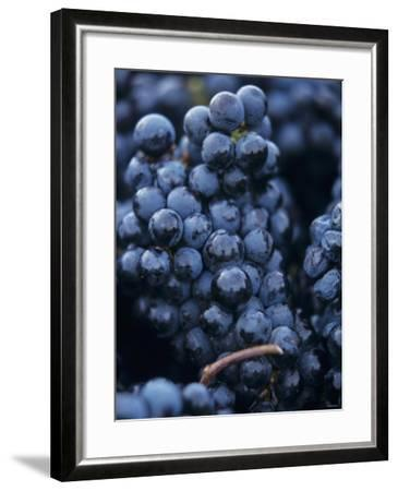 Cabernet-Sauvignon Grapes from Pomerol, France-Joerg Lehmann-Framed Photographic Print