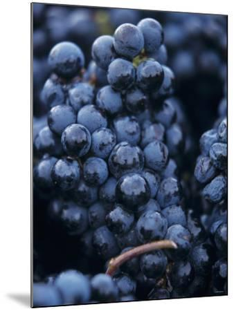 Cabernet-Sauvignon Grapes from Pomerol, France-Joerg Lehmann-Mounted Photographic Print