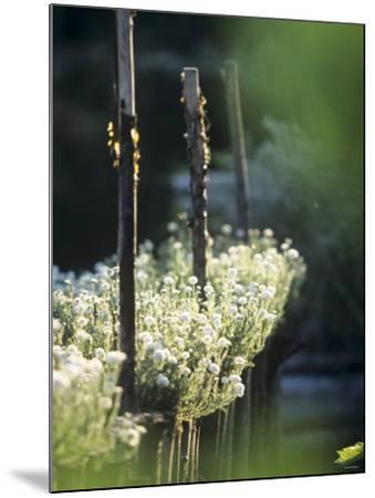 White Camomile in Garden-Joerg Lehmann-Mounted Photographic Print