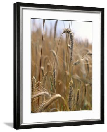 Ripe Barley Ears in the Field-Peter Rees-Framed Photographic Print