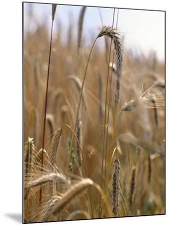 Ripe Barley Ears in the Field-Peter Rees-Mounted Photographic Print