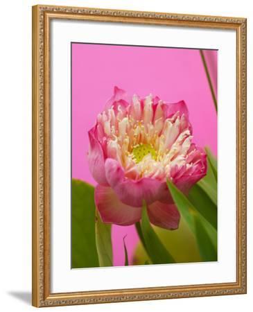 Lotus Blossom--Framed Photographic Print