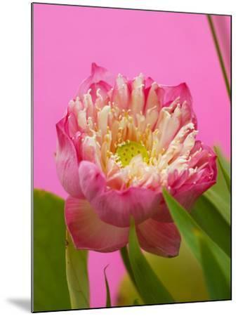 Lotus Blossom--Mounted Photographic Print
