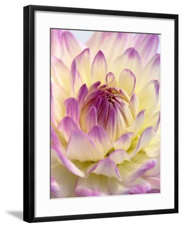 White and Purple Dahlia-Gerhard Bumann-Framed Photographic Print