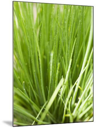 Fresh Chives in the Open Air--Mounted Photographic Print