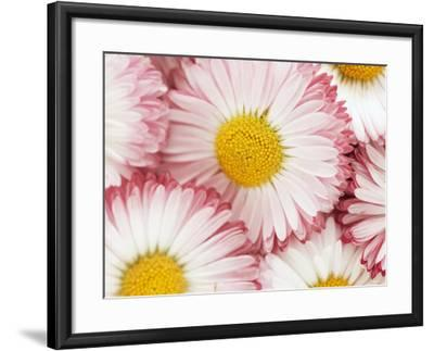 Several Daisies-Marc O^ Finley-Framed Photographic Print