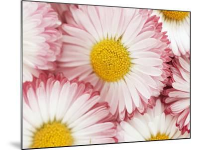 Several Daisies-Marc O^ Finley-Mounted Photographic Print