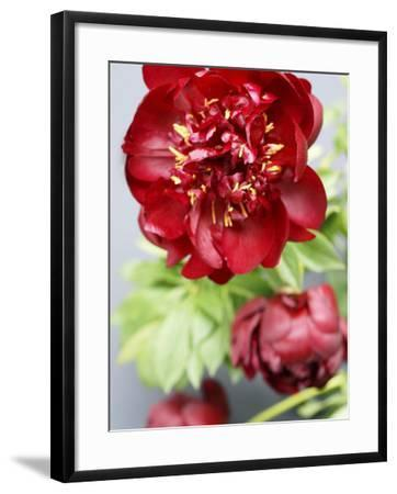 Red Peonies-Sebastian Vogt-Framed Photographic Print