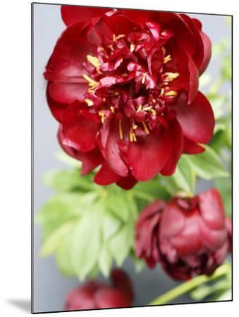Red Peonies-Sebastian Vogt-Mounted Photographic Print