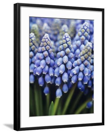 Several Grape Hyacinths--Framed Photographic Print