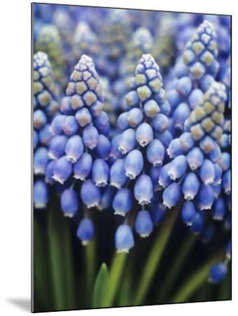 Several Grape Hyacinths--Mounted Photographic Print