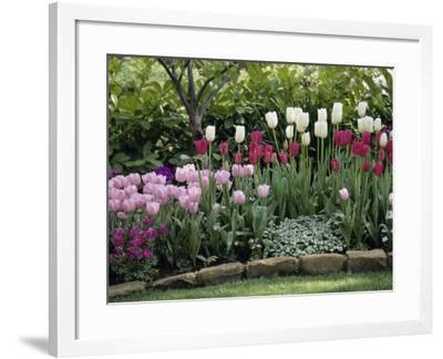 Tulips--Framed Photographic Print
