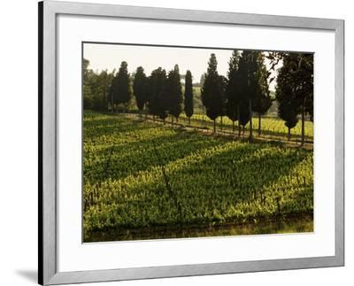 Grape Vines and Cypress Trees in Spring in Tuscany-Herbert Lehmann-Framed Photographic Print